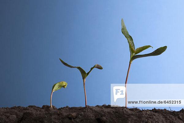 Reihe von drei Pflanzen