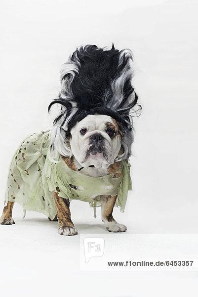 Eine englische Bulldogge im Kostüm als Braut von Frankenstein