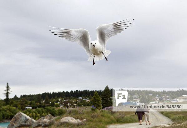 Ein weißer Seevogel im Flug  Lake Te Anau  Neuseeland