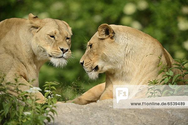Zwei Löwinnen  Panthera leo  Zoo  Augsburg  Bayern  Deutschland  Europa