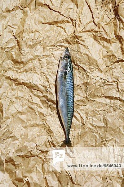 Papier  Atlantischer Ozean  Atlantik  Makrele  braun