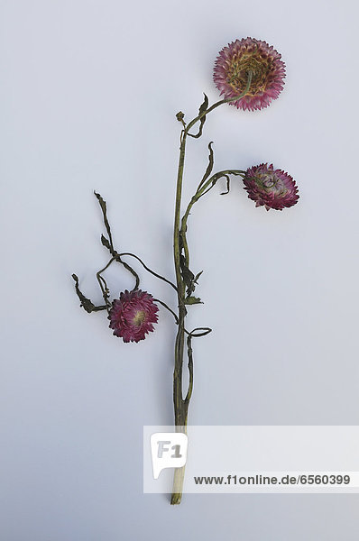 Dead flowers on white background
