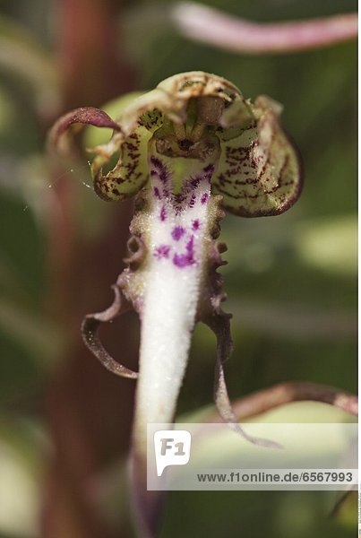 Himmelblauer BlŠuling (Polyommatus bellargus)