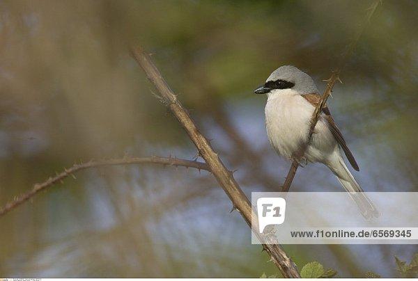 Rabenkraehe (corvus corone) *** Local Caption ***