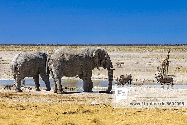 Afrikanischer Elefant (Loxodonta africana)  Spießbock (Oryx gazella)  Giraffe (Giraffa camelopardalis)  Springbock (Antidorcas marsupialis) am Wasserloch Nebrowni  Etosha-Nationalpark  Namibia  Afrika