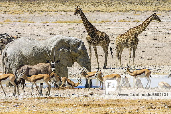 Afrikanischer Elefant (Loxodonta africana)  Spießbock (Oryx gazella)  Giraffe (Giraffa camelopardalis)  Springbock (Antidorcas marsupialis)  Steppenzebra (Equus quagga) am Wasserloch Nebrowni  Etosha-Nationalpark  Namibia  Afrika
