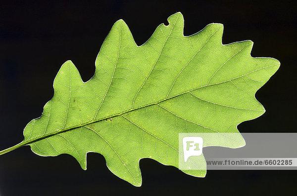 Leaf of a Cornish Oak (Quercus petraea)