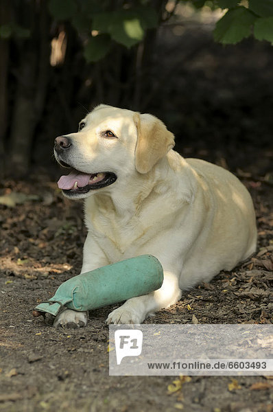 Blonder Labrador Retriever liegt auf Boden mit Dummy auf den Pfoten