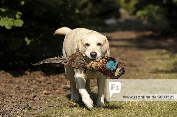 Blonder Labrador Retriever mit Fasanendummy im Fang