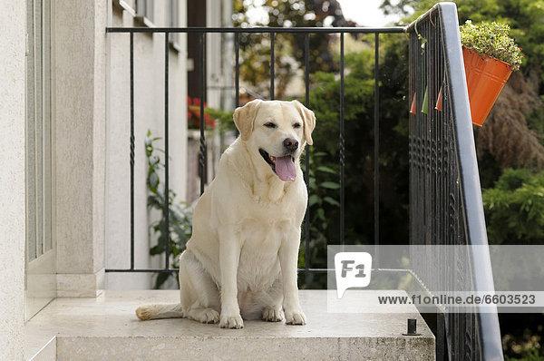 Blonder Labrador Retriever sitzt vor Hauseingang
