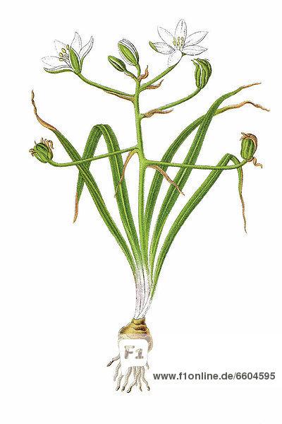 Dolden-Milchstern  Doldiger Milchstern oder Stern von Bethlehem  Artenaggregat (Ornithogalum umbellatum-Aggregat)  Heilpflanze  historische Chromolithographie  1796