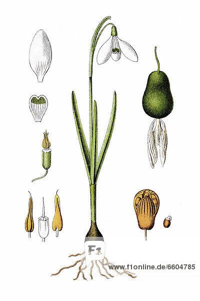 Kleines Schneeglöckchen (Galanthus nivalis)  Heilpflanze  historische Chromolithographie  ca. 1796