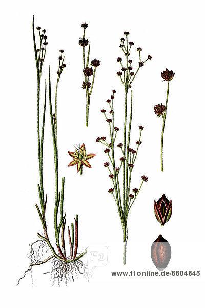 Alpen-Binse oder Gebirgs-Binse (Juncus alpinus  Juncus alpinoarticulatus)  Heilpflanze  historische Chromolithographie  ca. 1796
