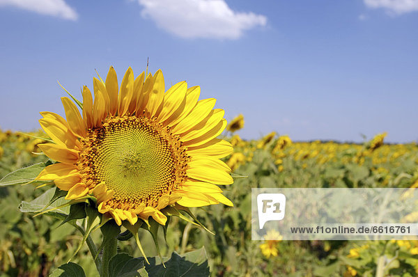 Sonnenblume (Helianthus annuus)  Sonnenblumenfeld  Odessa  Ukraine  Osteuropa  Europa