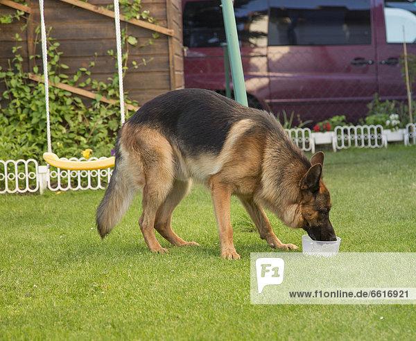 Deutscher Schäferhund trinkt Wasser aus Napf im Garten