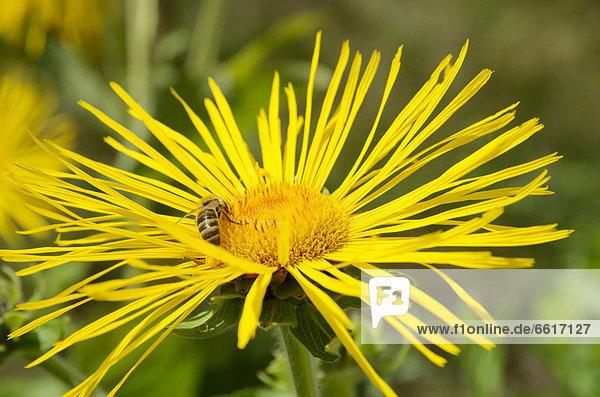 Honigbiene (Apis mellifera) auf Blüte  Echter Alant (Inula helenium)