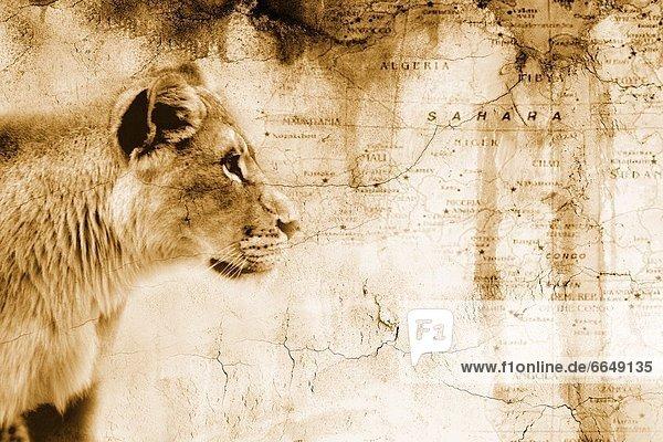 Löwe  Panthera leo  Landkarte  Karte  frontal  Afrika  alt
