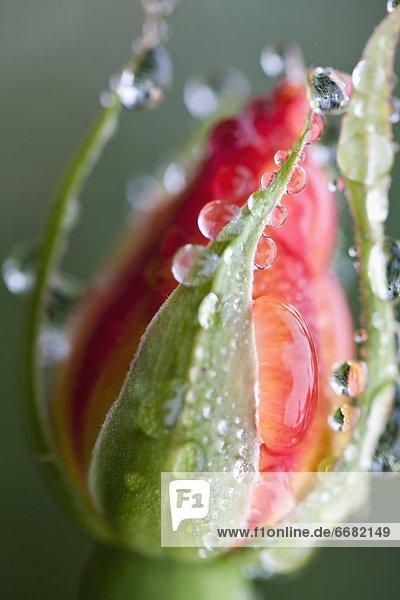 Wasser  geschlossen  heraustropfen  tropfen  undicht  Tulpe