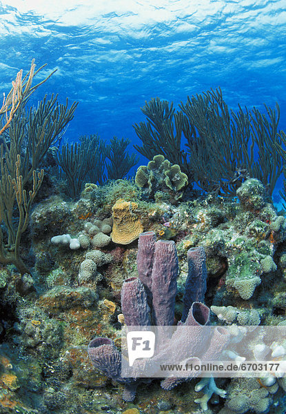 Azure Tube Sponge On Coral Reef