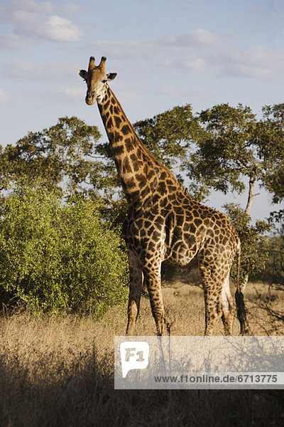 stehend  Giraffe  Giraffa camelopardalis  Gras