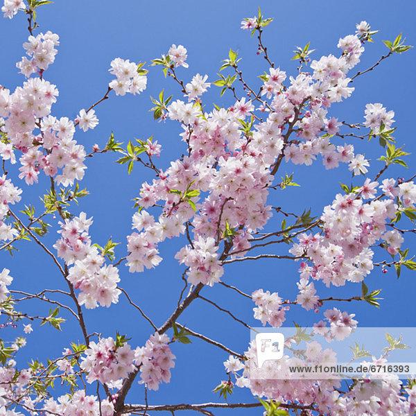 hoch  oben  nahe  Kirsche  blühen
