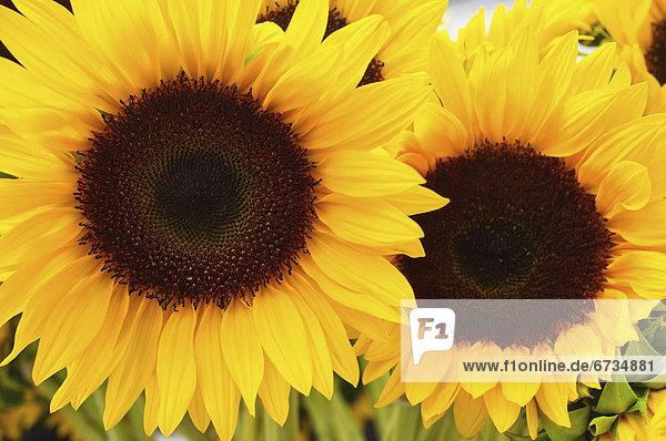 Close up of Sonnenblumen