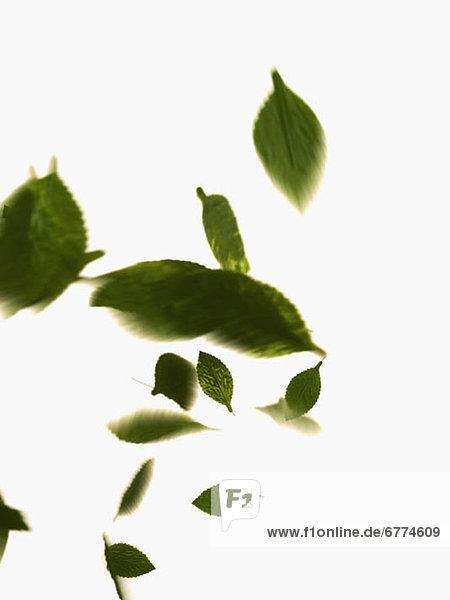 Pflanzenblatt Pflanzenblätter Blatt weiß Hintergrund