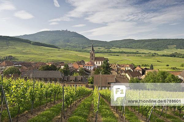 Rodern und Weinberge  hinten das Chateau de Haut-Koenigsburg  Elsass  Frankreich  Europa