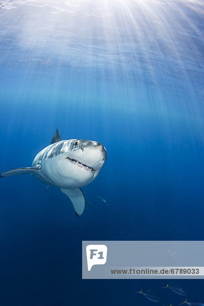 Mexico  Guadalupe Island  Great White Shark (Carcharodon carcharias).