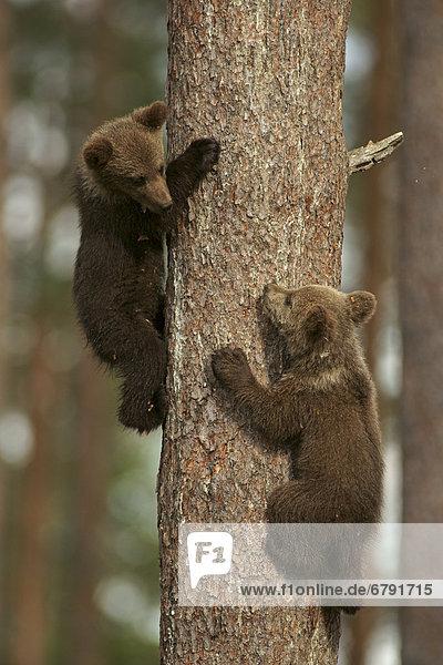 Young brown bears (Ursus arctos)  cubs  climbing a tree  Karelia  Finland  Europe