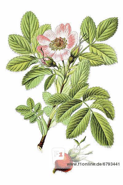 Apfel-Rose (Rosa villosa  Rosa pomifera)  Heilpflanze  historische Chromolithographie  ca. 1796