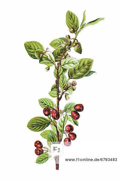 Gewöhnliche Zwergmispel oder Felsen-Zwergmispel (Cotoneaster integerrimus)  Heilpflanze  historische Chromolithographie  ca. 1796