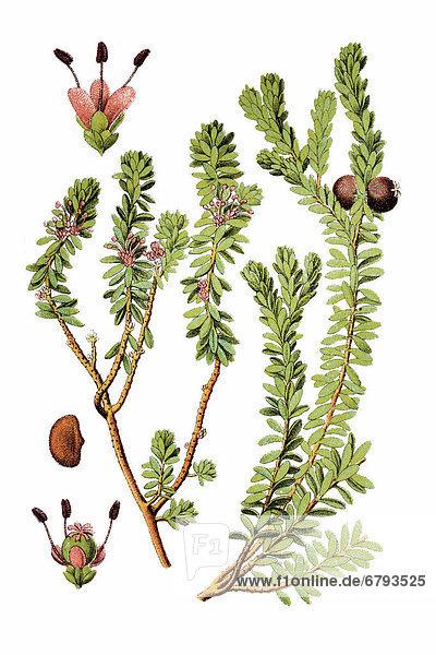 Schwarze Krähenbeere (Empetrum nigrum)  Heilpflanze  historische Chromolithographie  ca. 1796