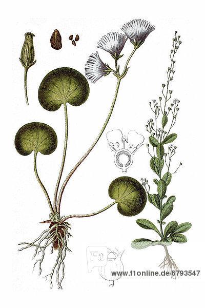 Links: Alpenglöckchen (Soldanella alpina)  rechts: Punge  Salz-Bunge  Bunge (Samolus valerandi)  Heilpflanze  historische Chromolithographie  ca. 1796