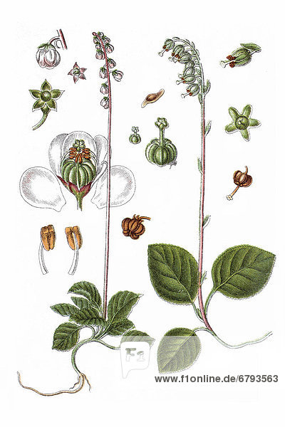 Links: Kleines Wintergrün (Pyrola minor)  rechts: Birngrün (Orthilia secunda  Ramischia secunda  Pyrola secunda)  Heilpflanze  historische Chromolithographie  ca. 1796