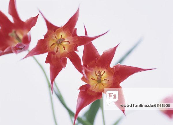 Tulip lilies