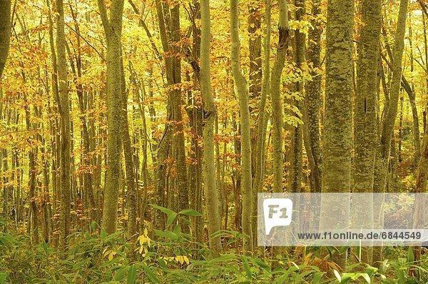 Nationalpark gelb Wald Laub Buche Buchen Hachimantai Japan