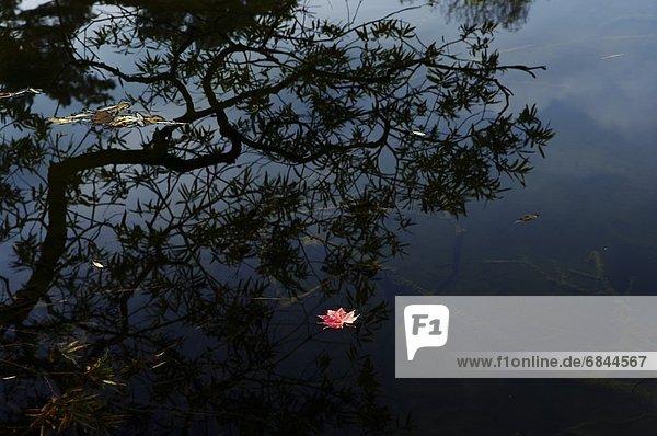 Bodenhöhe  Wasser  Pflanzenblatt  Pflanzenblätter  Blatt  fließen  Japan  Ahorn  Sumpf