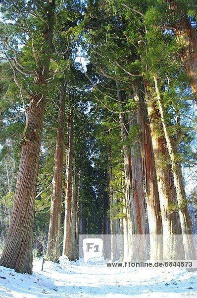 Baum  Reihe  Zeder  Nagano  Japan