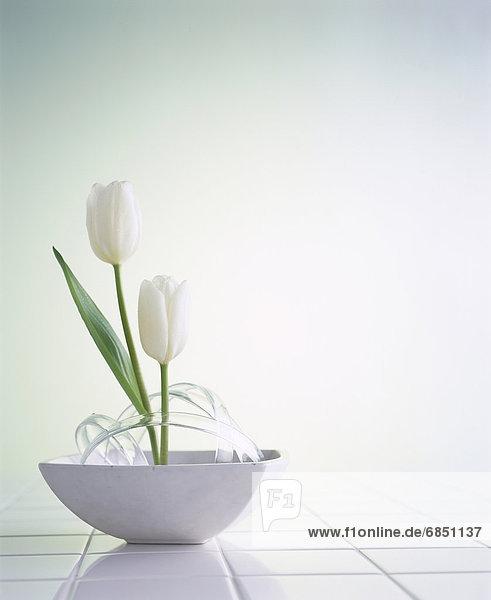 weiß  Tulpe  Kachel