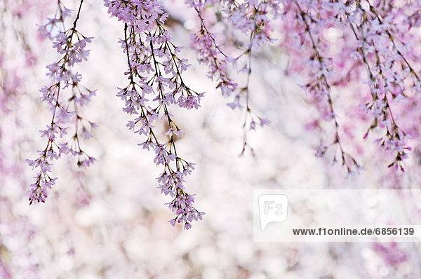 Kirschblüte  Honshu  Japan