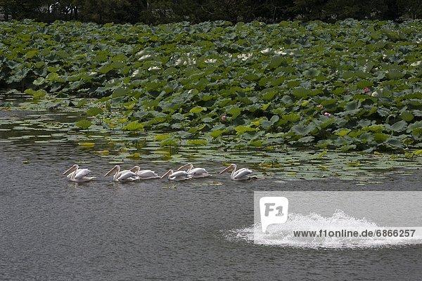 Pelikane Schwimmen im Teich