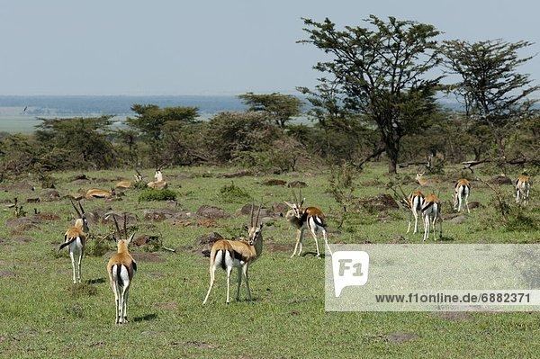 Ostafrika  Masai Mara National Reserve  Afrika  Kenia