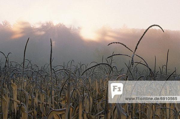 Vereinigte Staaten von Amerika USA Kornfeld Sonnenuntergang Hampshire neu