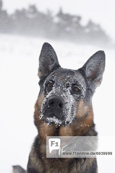 Winter  deutsch  Schafhirte