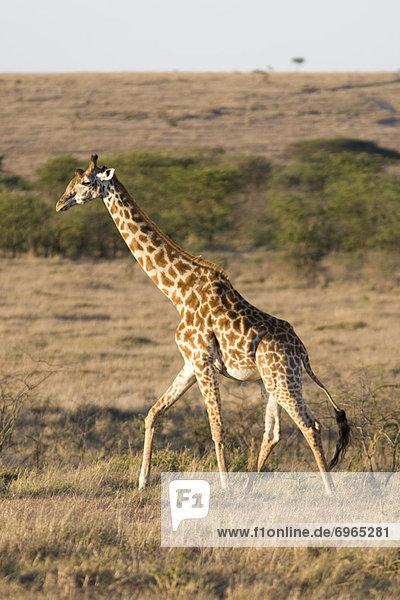 Pampashase  Dolichotis patagonum  Giraffe  Giraffa camelopardalis  Kenia  Masai