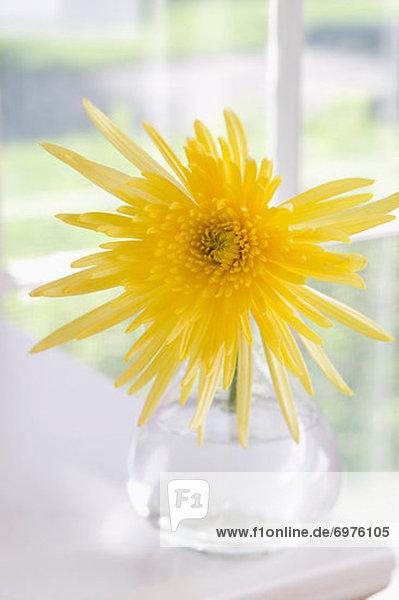 gelb  Blumenvase  Spinne
