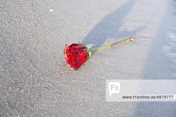Strand  rot  Rose