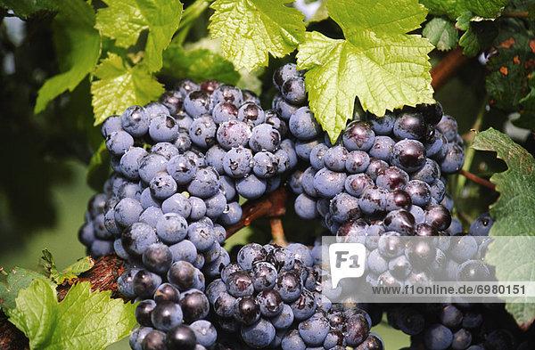 Wachstum  Weintraube  rot  Kletterpflanze
