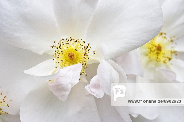 Weiße Strauchrose  Margaret Merril Harkness